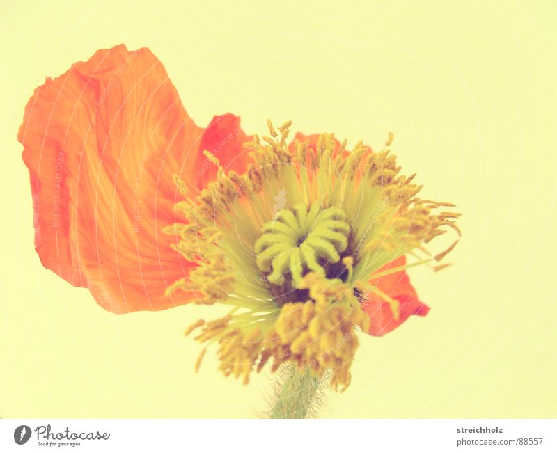 Flower Power VIII Blume Hoffnung Mohn Blüte Makroaufnahme abstrakt rosa gelb Optimismus Blühend Reifezeit Wachstum Stempel Pollen Nahaufnahme Freude Glück