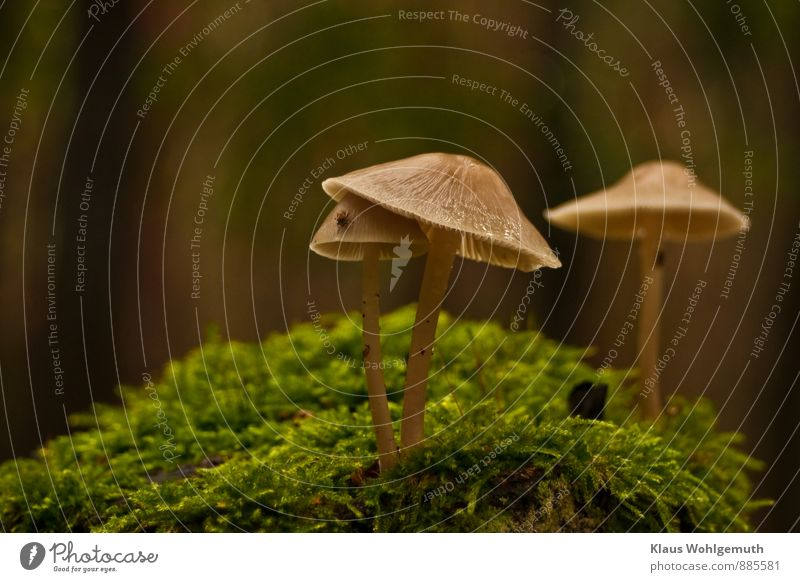 Unterschlupf Umwelt Natur Pflanze Moos Pilz Pilzhut Blätterpilz Lamelle Wald Tier Zecke 1 braun grau grün Farbfoto Außenaufnahme Nahaufnahme Detailaufnahme