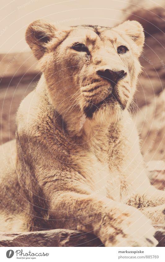löwe loewe Ferien & Urlaub & Reisen Tier Freizeit & Hobby Angst Wildtier Tourismus Ausflug bedrohlich beobachten Abenteuer exotisch Zoo Fressen Aggression
