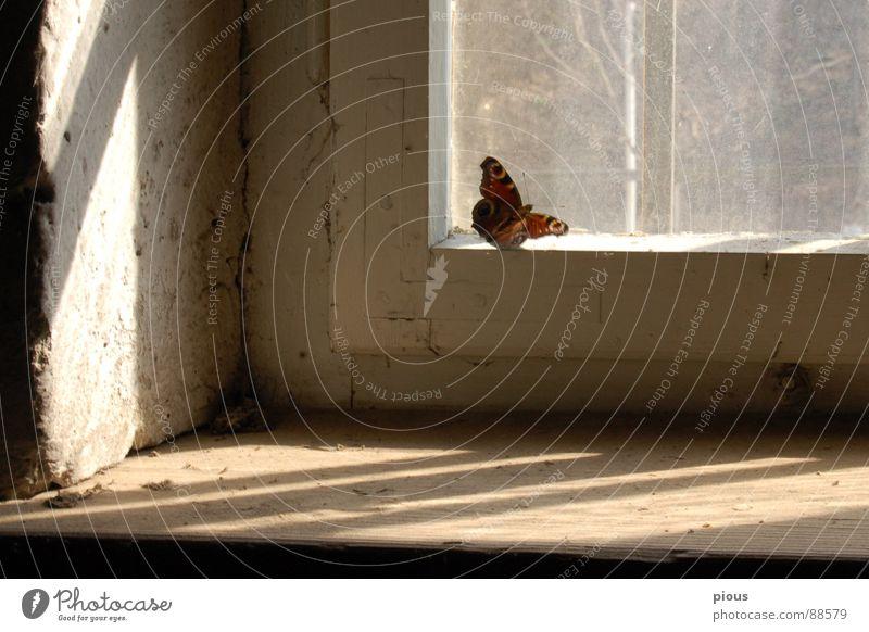 ein Augenblick Tier Fenster Glas Schmetterling Momentaufnahme Rahmen Sportveranstaltung gefangen Schwäche Konkurrenz Justizvollzugsanstalt Fensterbrett