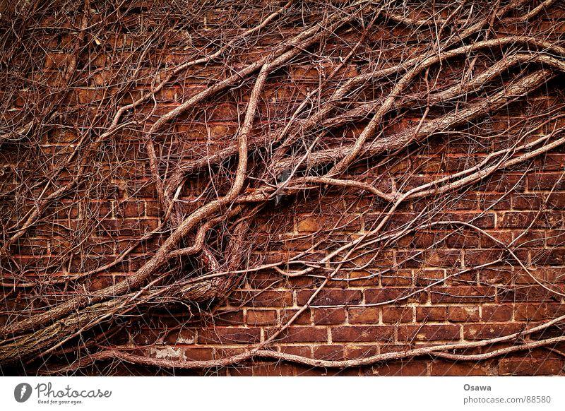Ränkespiel Pflanze Winter Wand Stein Mauer Macht Wachstum Wein Ast Backstein Baumstamm diagonal Läufer Ranke Efeu Reifezeit