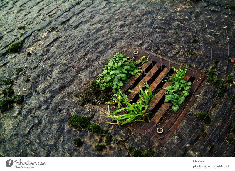 Feuchtbiotop 2 Feuchtgebiete Gully Platz Bürgersteig Gußeisen Pflanze nass feucht glänzend grün schwarz rot schön Kopfsteinpflaster Straße Wege & Pfade