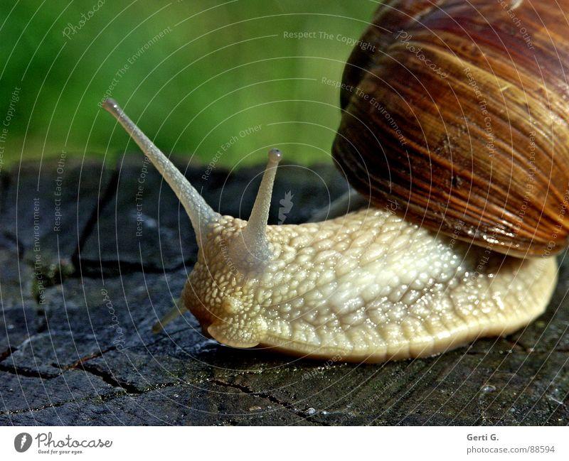 Schleimer grün Tier Haus Gefühle Holz braun Lebensmittel Haut Seite Schnecke tragen Glätte krabbeln Fühler Tastsinn rutschen
