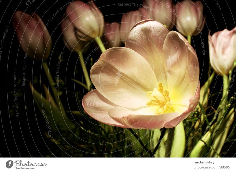 dunkle tulpe Tulpe Blume Wiese Frühling Blüte Blumenstrauß Muttertag rosa Stengel Halm Makroaufnahme Freude