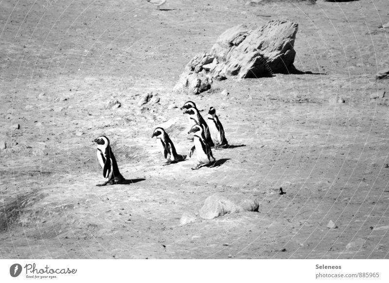 einer gibt den Ton an Natur Ferien & Urlaub & Reisen Meer Landschaft Tier Umwelt Küste Tourismus Ausflug Tiergruppe rennen Nutztier Tierliebe Pinguin