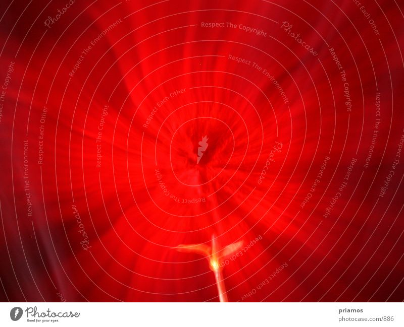 rote nelke Blume Zoomeffekt Nelkengewächse