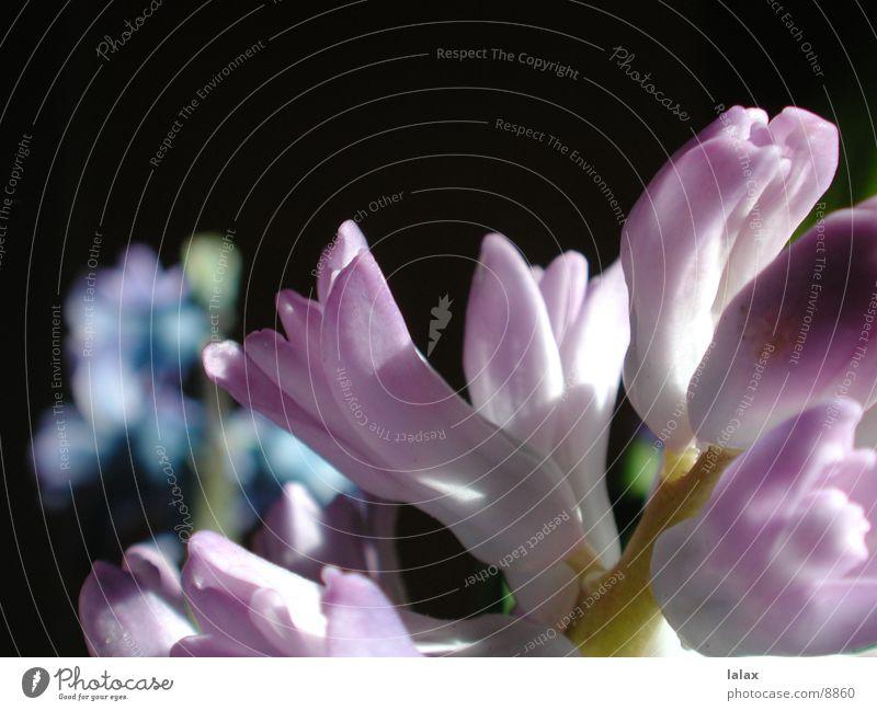 blume Blume