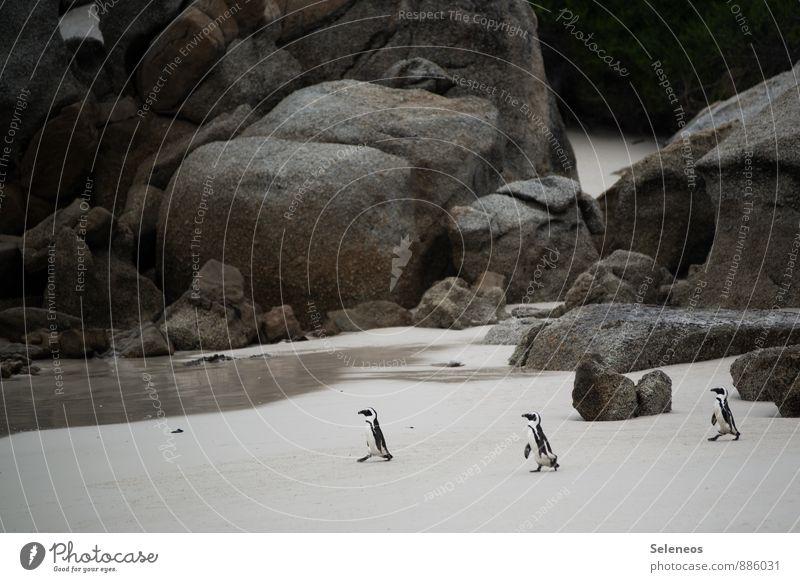 im Gleichschritt Natur Ferien & Urlaub & Reisen Sommer Sonne Meer Tier Strand Ferne Umwelt Küste Freiheit Felsen Wildtier Tourismus laufen Ausflug