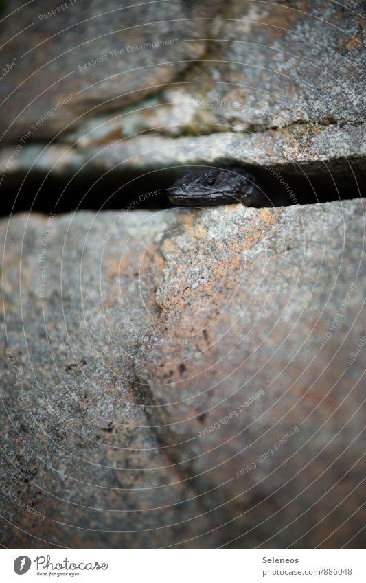 Hi! Ausflug Abenteuer Umwelt Natur Felsen Berge u. Gebirge Tier Wildtier Tiergesicht Echsen 1 beobachten nah natürlich schwarz Farbfoto Außenaufnahme