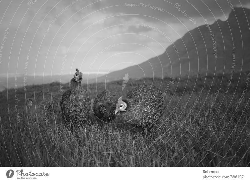 Perlhühner vor Tafelberg Ferien & Urlaub & Reisen Umwelt Natur Himmel Wolken Horizont Wiese Berge u. Gebirge Gipfel Tier Nutztier Wildtier Tiergesicht Haushuhn