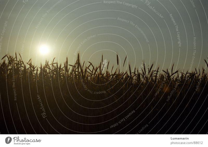 Abendernte Himmel Sonne Sommer Zufriedenheit Feld Wachstum Getreide Stengel Ernte Halm Korn Ähren Reifezeit Zyklus