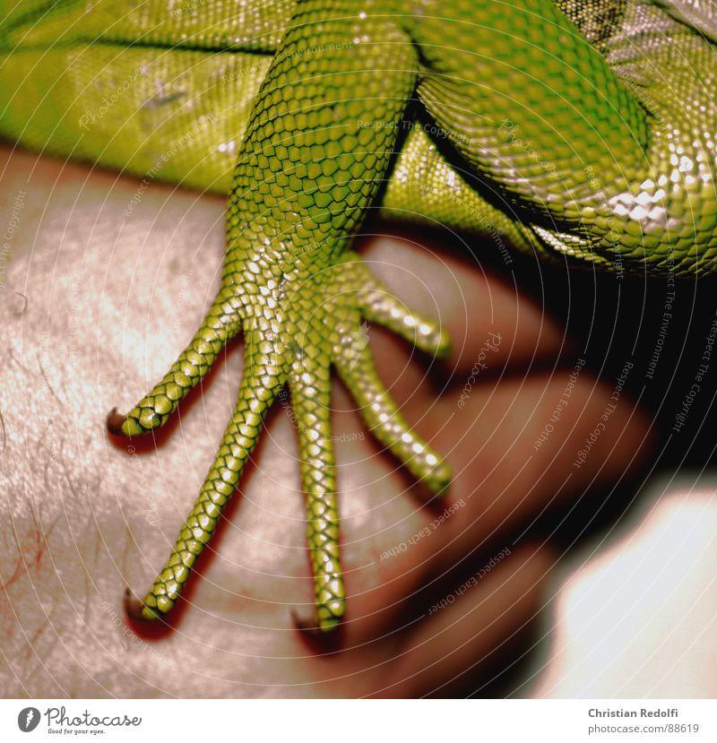 Echsen pfötchen grün Hand Tier Haut Scheune rau Reptil