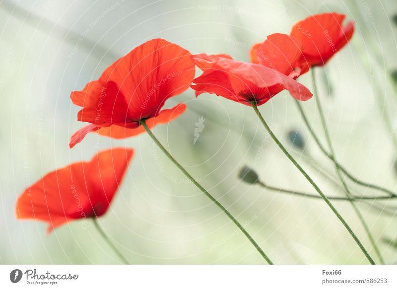 Mohnlandschaft Umwelt Pflanze Sommer Blume Wildpflanze Feld Duft natürlich grün rot authentisch Sehnsucht Natur ruhig Mohnfeld Mohnblüte Farbfoto Außenaufnahme