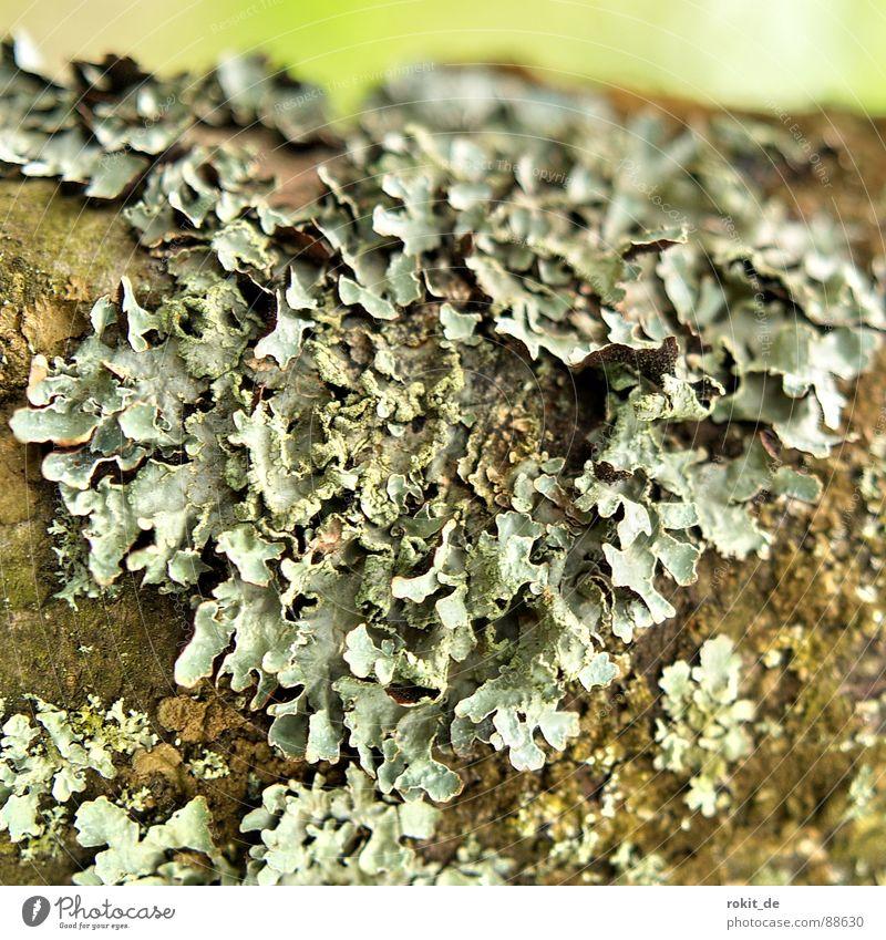 Ich krieg die Krätze Baumstamm grau grün Rest Makroaufnahme Nahaufnahme Vergänglichkeit Scheune Flechten Ast verfaulen alt