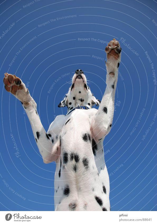 Dogzilla Hund Dalmatiner Dalmatien Froschperspektive Godzilla groß Säugetier dog chien enzo dalmatian dalmation Punkt Fleck