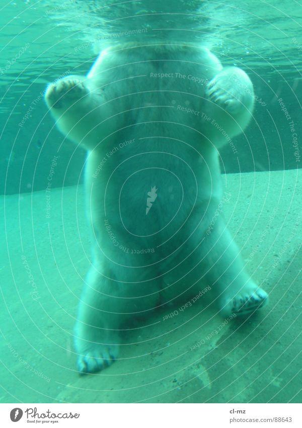Eisbär Säugetier Unterwasseraufnahme Zoo Toronto Wasser Bär