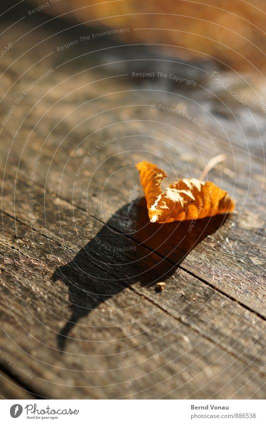 Vorbote Natur Pflanze schön Blatt Herbst Stimmung Wetter orange fallen Abschied vertrocknet verwittert Holztisch durchscheinend