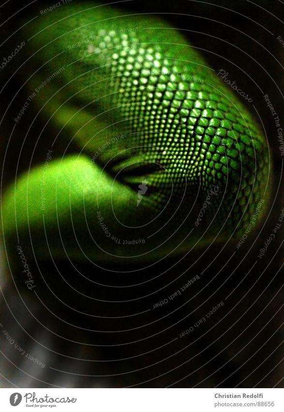 Echsen schenkel grün schwarz Tier Beine Haut Falte Gift Scheune Reptil Gelenk Knie Echsen Oberschenkel rau