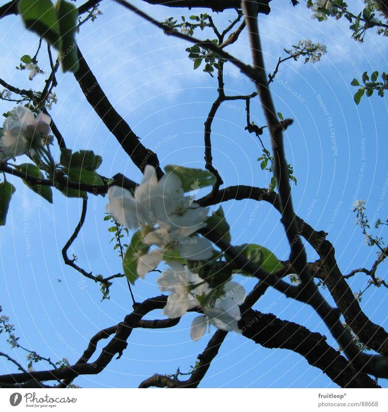 frühlingserwachen Himmel blau Blüte Frühling Garten Ast luftig