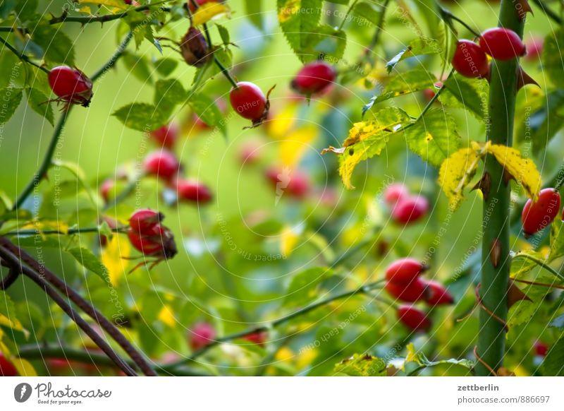 Hagebutten Natur Pflanze Gesunde Ernährung Blume Blatt Herbst Gesundheit Garten Gesundheitswesen Frucht Textfreiraum geheimnisvoll Rose Tiefenschärfe Ernte Schrebergarten