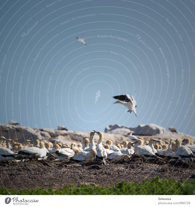 Basstölpel, Gruppenversammlung Himmel Natur Ferien & Urlaub & Reisen Landschaft Tier Umwelt Küste Freiheit fliegen Vogel Horizont Tourismus Wildtier Ausflug