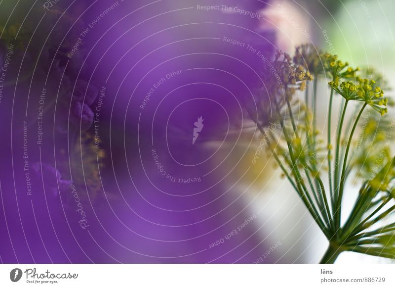 lila der letzte versuch Pflanze Blume natürlich außergewöhnlich Häusliches Leben Dekoration & Verzierung Blühend violett Blumenstrauß Inspiration Dill