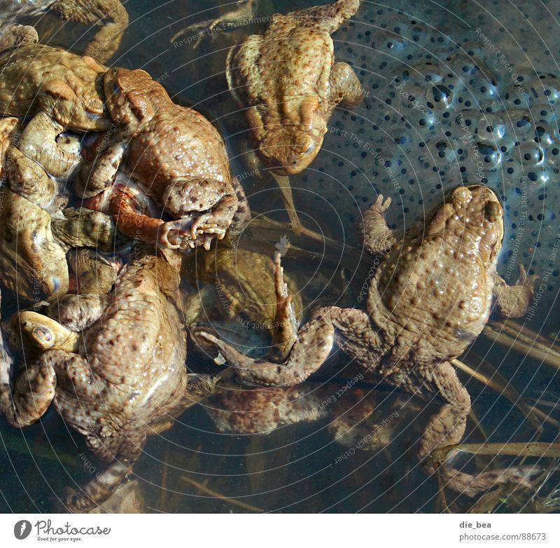 Frühlingsgefühle – extrem Frosch Glätte Jahreszeiten wirtschaftlich Fortpflanzung Kröte produktiv Kaulquappe