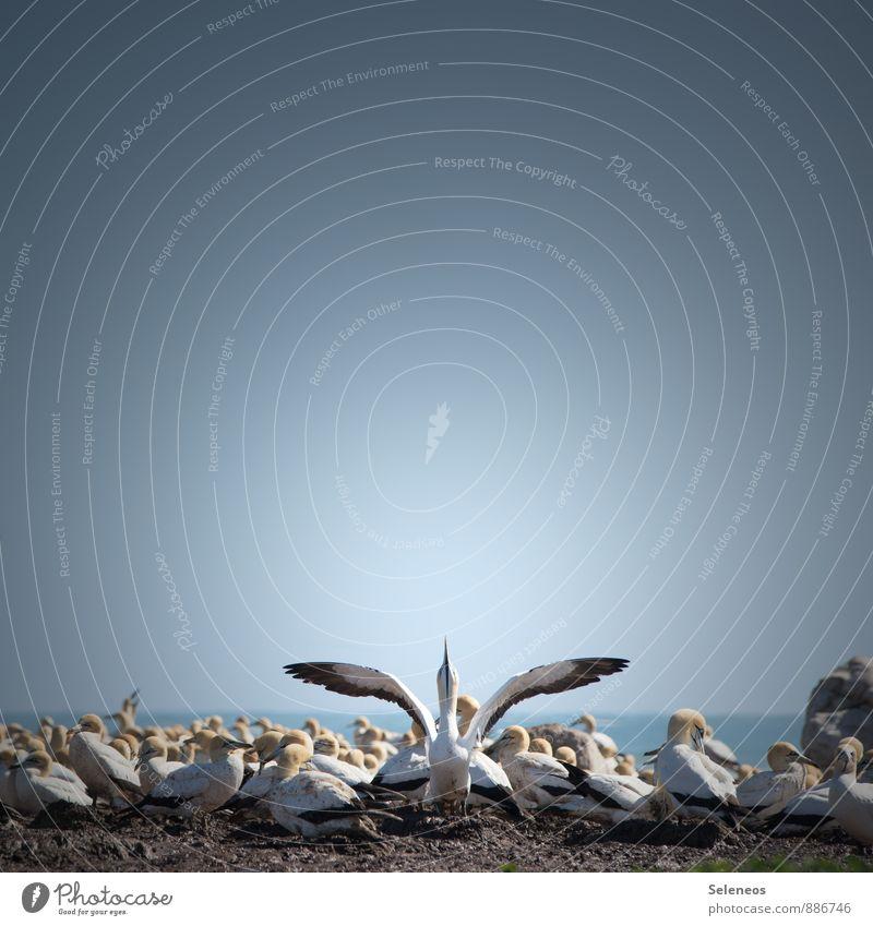 Raum zum fliegen. Tourismus Ausflug Ferne Freiheit Umwelt Natur Wolkenloser Himmel Horizont Küste Meer Südafrika Tier Wildtier Vogel Flügel Basstölpel Schwarm