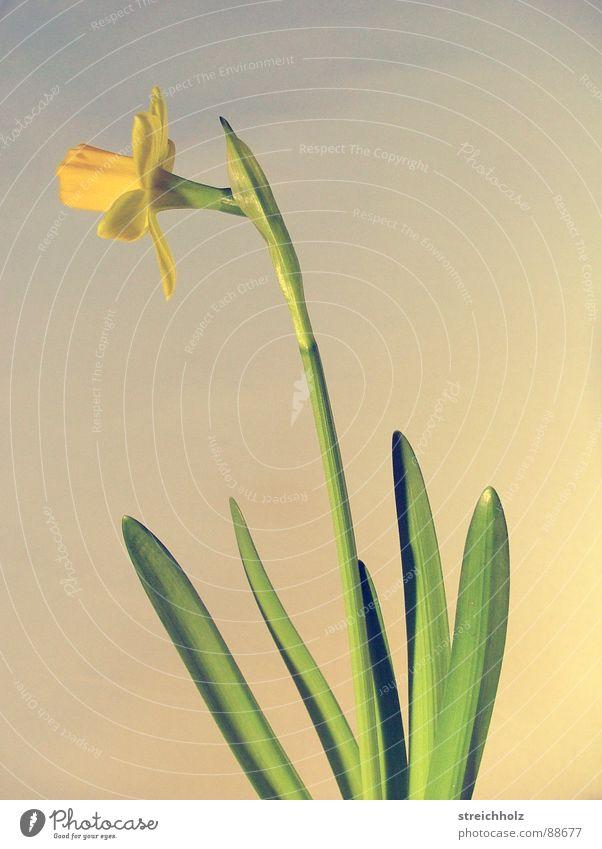 osterglocke aufgegangen Blume Hoffnung Blüte Makroaufnahme abstrakt rosa gelb Optimismus Blühend Reifezeit Wachstum Gelbe Narzisse Osterei Zufriedenheit Stempel