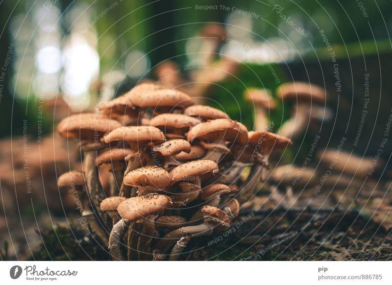 familienbande Natur Sommer Herbst Wald braun Zusammensein Zusammenhalt Pilz mehrere Hallimasch viele humus Unschärfe Gesunde Ernährung essbar lecker Suche