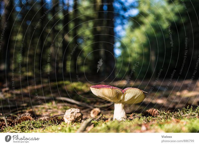 Waldleben II... Umwelt Natur Landschaft Moos natürlich grün Pilz Fliegenpilz Waldboden Menschenleer Unschärfe Froschperspektive
