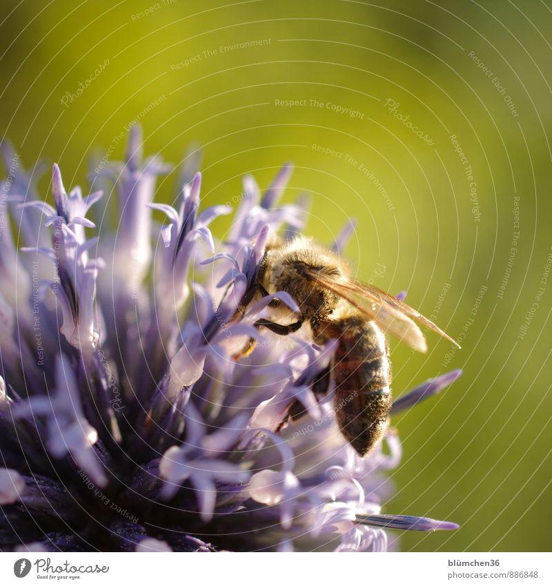 In der Abendsonne Tier Nutztier Wildtier Biene Honigbiene Insekt Flügel Fell Fressen tragen klein natürlich schön feminin Blühend Blüte Kugeldistel Distel