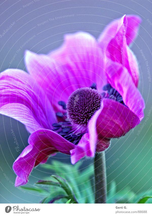 AnyMoney mehrfarbig schön Garten-Anemone Anemonen Hahnenfußgewächse Pflanze Heilpflanzen grün violett rosa Blüte Blütenstempel Blume Blühend elegant