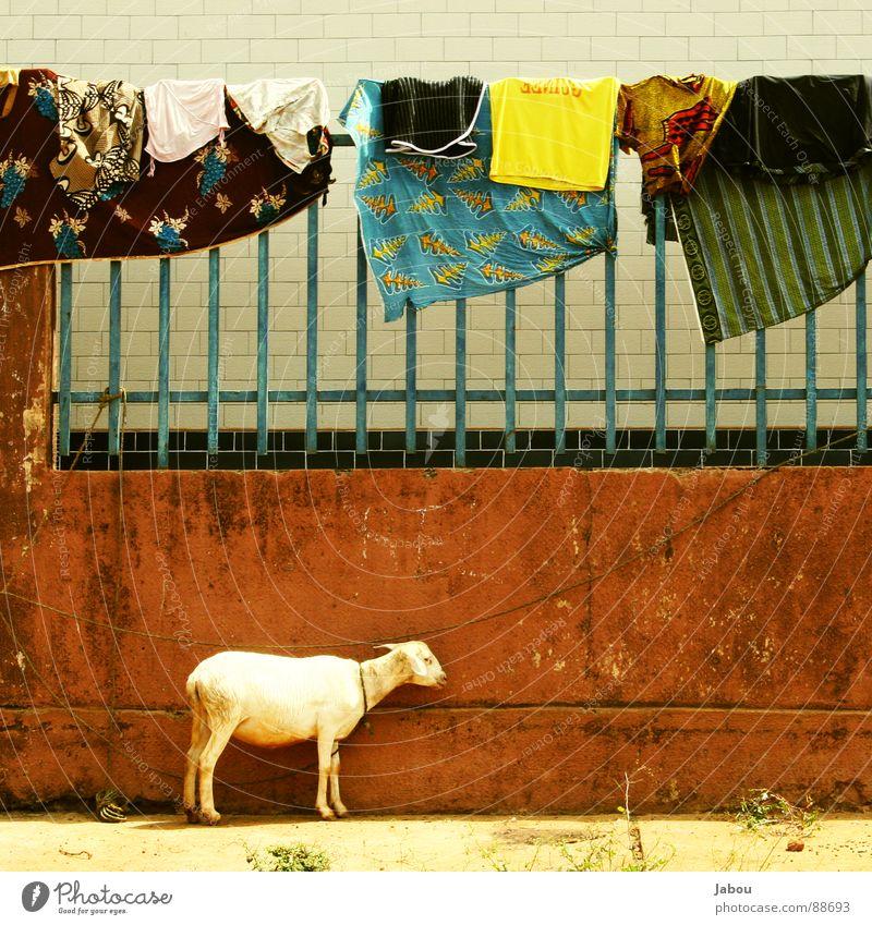 Guineé Laundry Mauer braun Afrika Schaf Wäsche Tier Ziegen Guinea