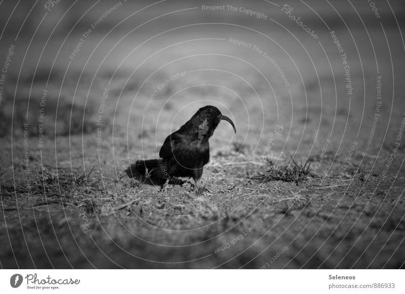 Pinocchio Ferien & Urlaub & Reisen Tourismus Ausflug Freiheit Umwelt Natur Gras Wiese Namibia Tier Wildtier Vogel 1 Fressen natürlich Tierliebe Schwarzweißfoto