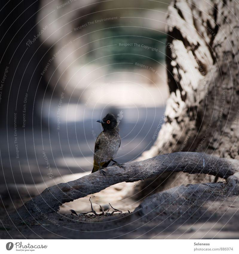 African red-eyed bulbul Ferien & Urlaub & Reisen Ausflug Ferne Freiheit Sommer Sommerurlaub Umwelt Natur Pflanze Baum Tier Wildtier Vogel Tiergesicht Flügel
