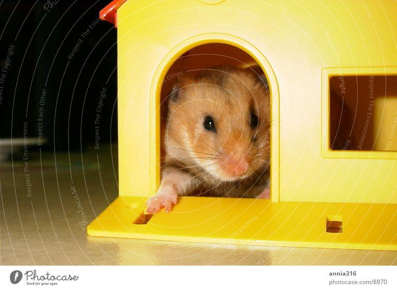 Hamster posiert Haustier Nagetiere