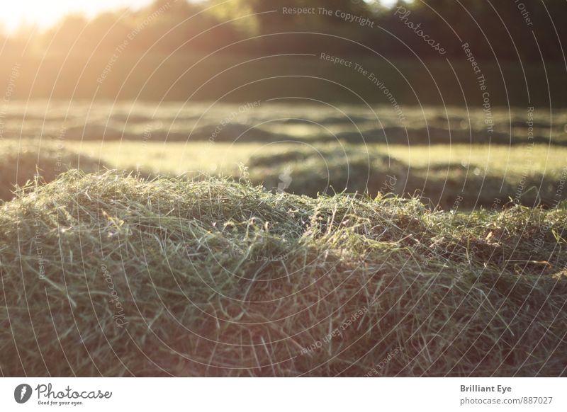 Frisch gemähtes Gras in der Abendsonne Landwirtschaft Forstwirtschaft Natur Pflanze Sonne Sonnenaufgang Sonnenuntergang Sonnenlicht Frühling Sommer