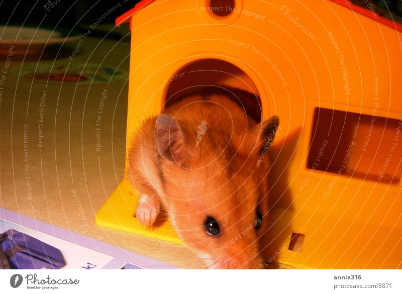 Hamster Haus Haustier Nagetiere Tier
