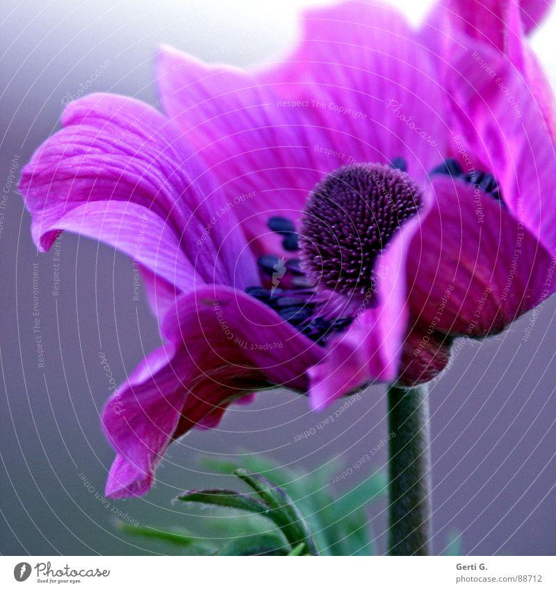 AnyMoney ² mehrfarbig schön Garten-Anemone Anemonen Hahnenfußgewächse Pflanze Heilpflanzen grün violett rosa Blüte Blütenstempel Blume Blühend elegant