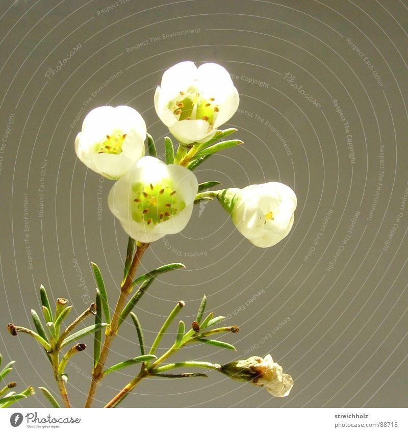 Mystisches Blümchen Blume Hoffnung Gänseblümchen Blüte Makroaufnahme abstrakt Optimismus Blühend Reifezeit Wachstum bezaubernd Zauberei u. Magie mystisch