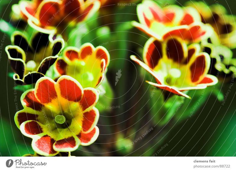 Primeln grün rot Blume Pflanze Blumentopf mehrfarbig Muster Kissen-Primel Makroaufnahme Strukturen & Formen Farbe