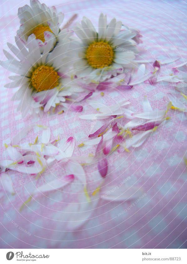 OSTERMÄDCHENBLÜMCHEN Philosoph Wiese Romantik rosa Gänseblümchen Frühling Alm Waldlichtung Hippie Bergwiese Schundroman Blumenstrauß Dorfwiese Schwärmerei