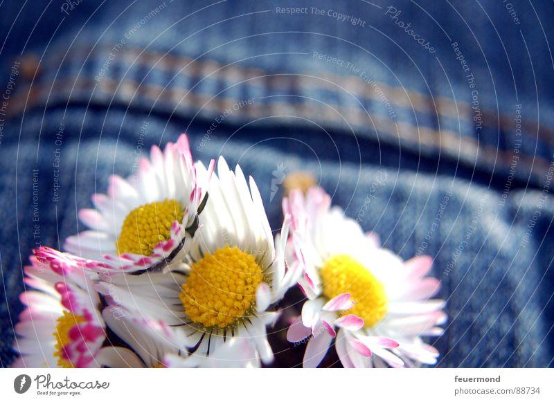 Jeansjacken-Blümel Gänseblümchen Blume Frühling Sommer sommerlich Jacke Knopfloch Schmuck Knöpfe verschönern Blüte springen Jeanshose Schönes Wetter summery sun