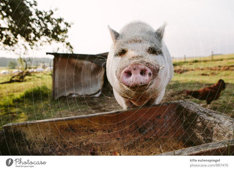 Schweinskram Wiese Feld Nutztier 1 Tier beobachten warten dreckig Neugier achtsam Appetit & Hunger Rüssel Schweinekopf Trog Futterplatz Haushuhn Farbfoto