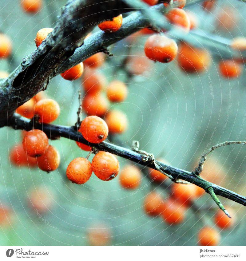 Vitamin-C Lebensmittel Diät Körper Umwelt Natur Landschaft Pflanze Nutzpflanze Wildpflanze Sanddorn Erholung Essen Vitamin C Gesunde Ernährung herbstlich Herbst