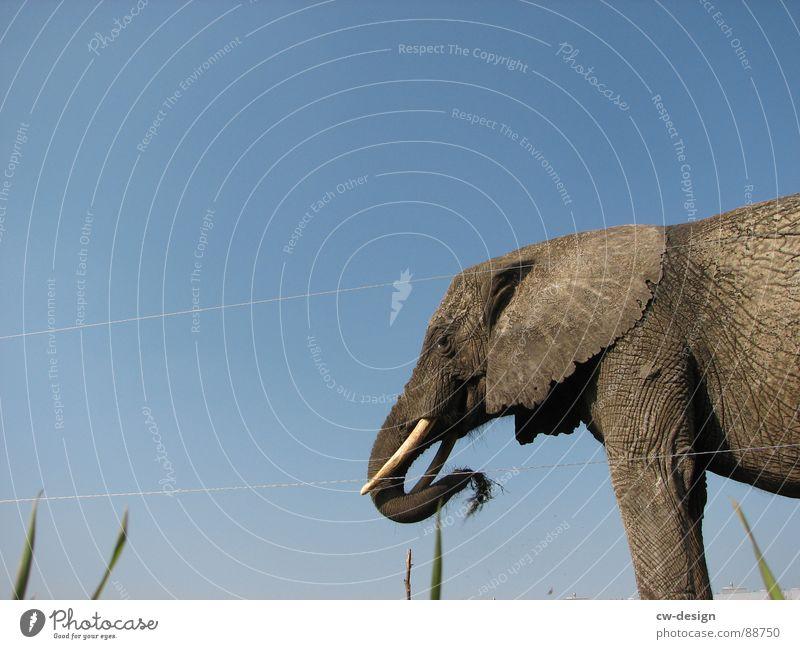 *   *   *   K N U T   *   *   * Elefant Tiergesicht Reifenprofil Fressen Bildausschnitt Anschnitt Rüssel Tier Elefantenohren Vor hellem Hintergrund Indischer Elefant