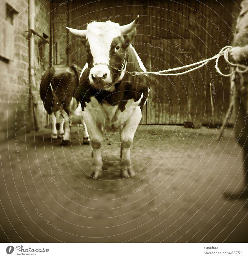 gustaf knut, der osterochse .. Kuh Stall Bauernhof Landwirt Landwirtschaft Bulle Kuhstall Säugetier rindvie deckbulle besamung
