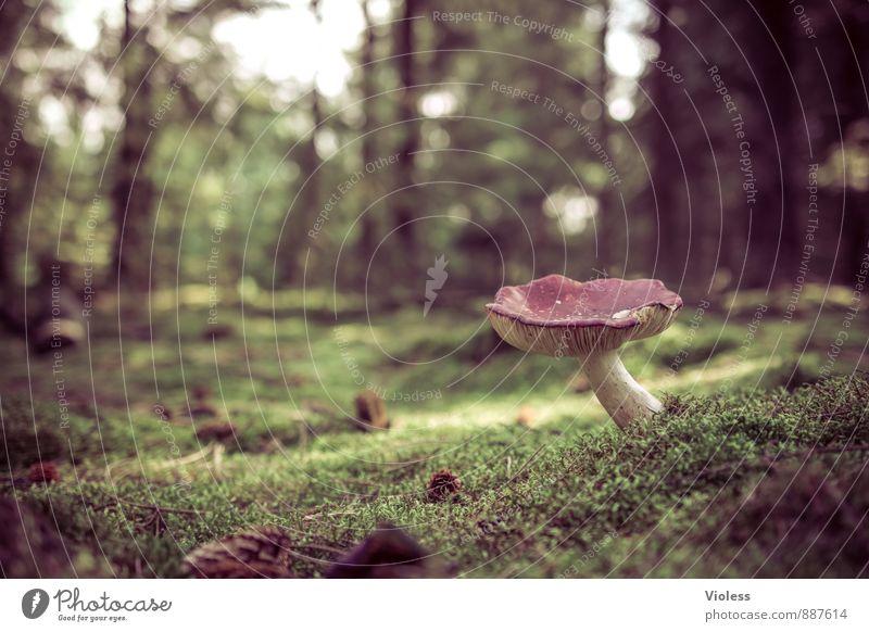 fairytale forest... Natur Landschaft Pflanze Moos Wald dunkel fantastisch grün Waldboden Pilz Pilzhut Menschenleer Textfreiraum links Unschärfe