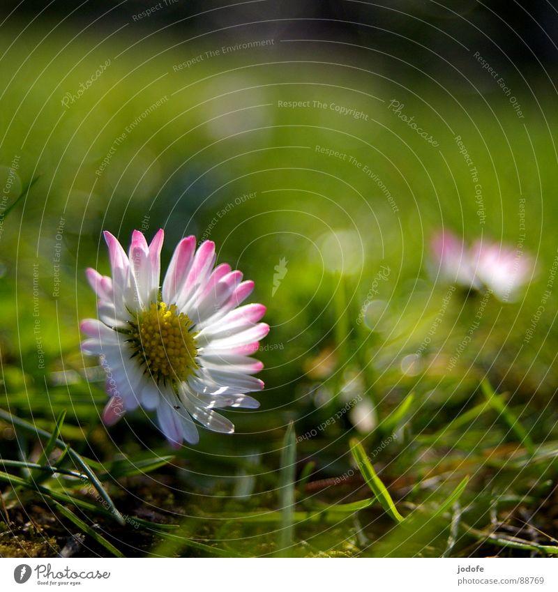 *le printemps* Blume Blüte Blütenblatt Gänseblümchen gelb weiß rosa grün Gras Halm Grünfläche Vordergrund Hintergrundbild Beleuchtung erleuchten Sonnenstrahlen